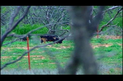 Wild Hog & Texas Turkey Hunt