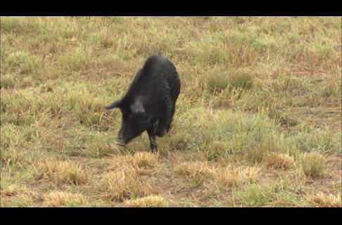 FAQ's - Wild Hogs, Feral Pigs
