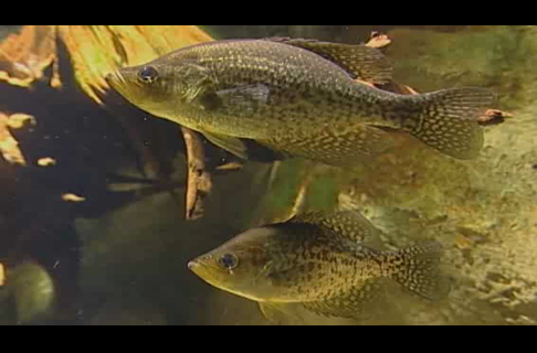 Summer Crappie Fishing Tips from Wally Marshall