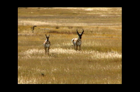 Interesting Facts About the Pronghorn