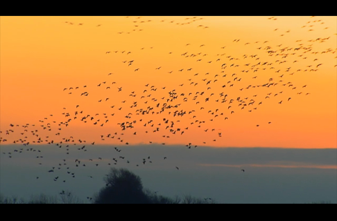 Hunting Missouri Snow Geese with Allen Treadwell & John Paul Morris