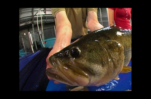 Do Bass Fish Have Ears? Watch and Find Out