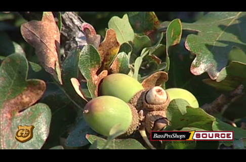 Acorn Trees for Wild Turkey - How to Improve Their Yield